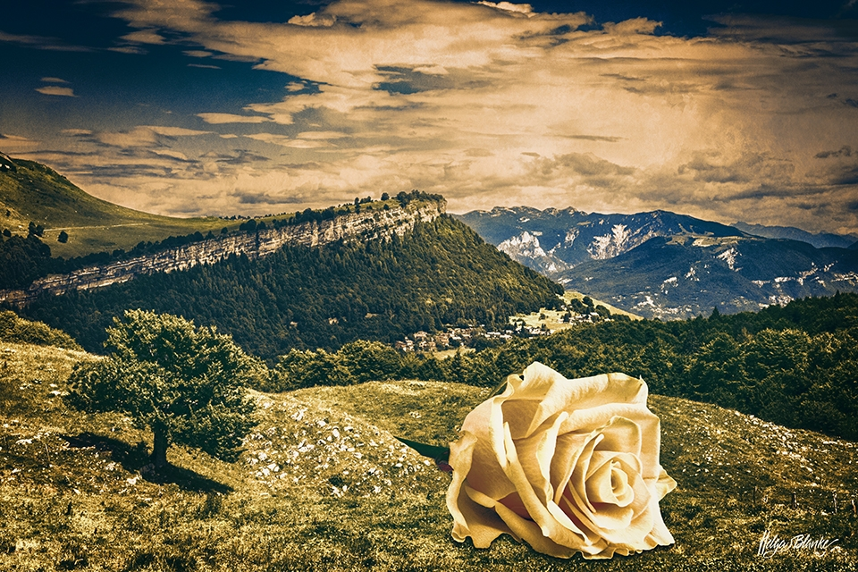 Rose In The Mountains